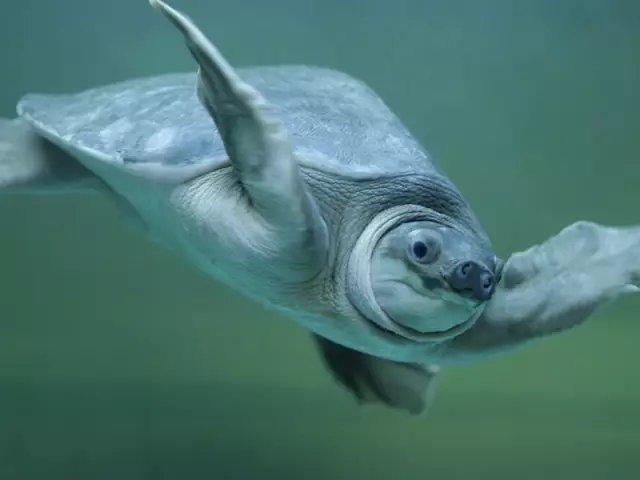 猪鼻龟怎么养?猪鼻龟的饲养方法